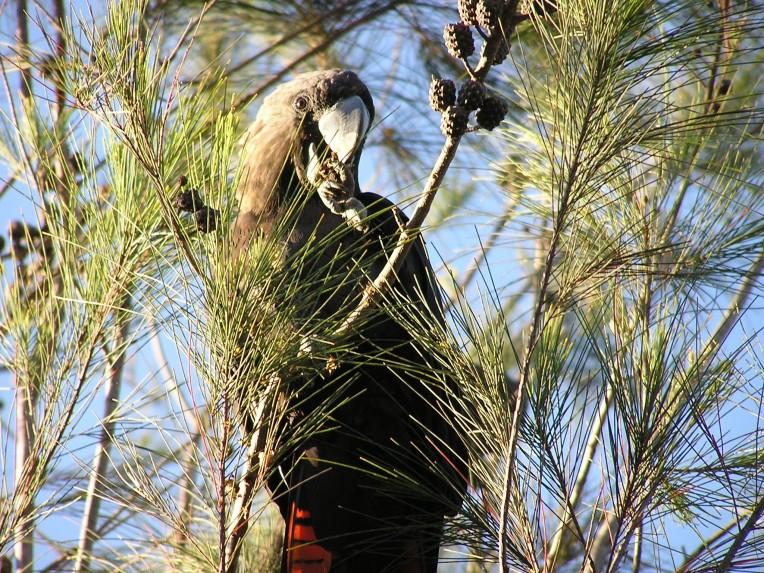 Glossy-Black-Cockatoo